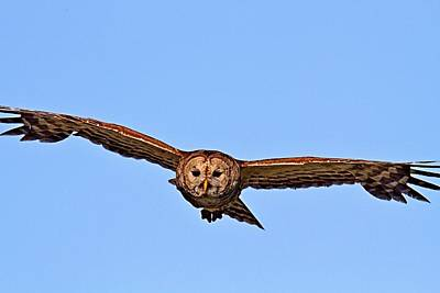 Photograph - Barred Owl In Flight by Ira Runyan