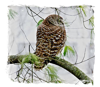 Owl Photograph - Barred Owl In Pine Tree by Larry Jost
