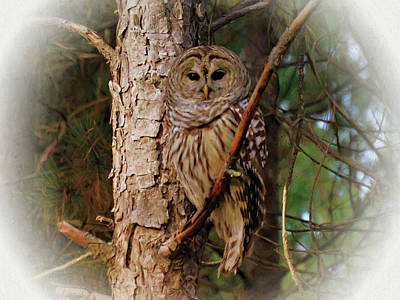 Photograph - Barred Owl In Pine Tree. by Rusty R Smith