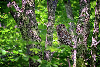 Photograph - Barred Owl In Sieur Du Monts by Rick Berk
