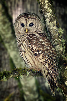 Photograph - Barred Owl In The Trees by Inge Riis McDonald