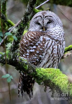 Photograph - Barred Owl In Tree by Nick Gustafson
