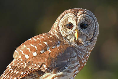 Photograph - Barred Owl Intimate by Alan Lenk