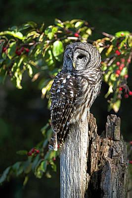 By Jackie Photograph - Barred Owl by Jackie Sajewski