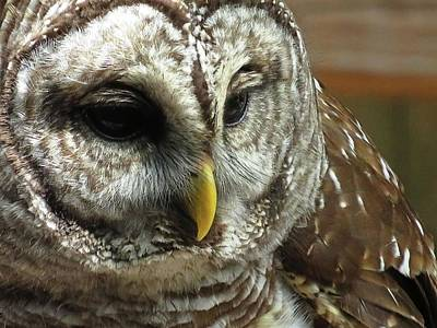 Animals Royalty-Free and Rights-Managed Images - Barred Owl by Jennifer Wheatley Wolf
