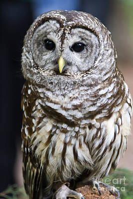 Photograph - Barred Owl by Jill Lang
