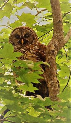 Photograph - Barred Owl by Joshua Bales