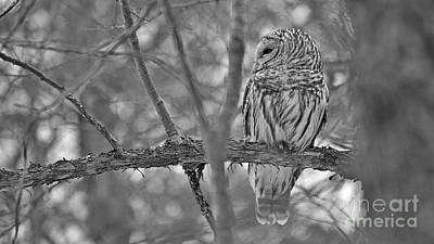 Photograph - Barred Owl by Joshua McCullough