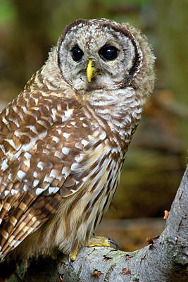 Barred Owl Juvie Art Print by Timothy McIntyre