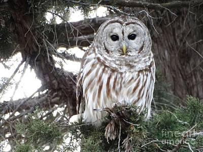 Photograph - Barred Owl Kansas  by Rebecca Overton