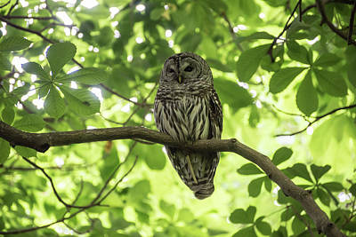 Photograph - Barred Owl by Keith Boone