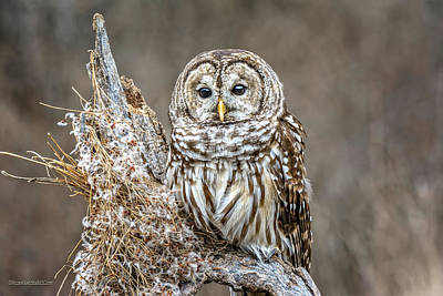 Photograph - Barred Owl Landscape by LeeAnn McLaneGoetz McLaneGoetzStudioLLCcom