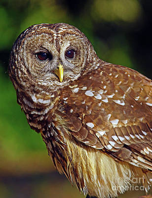 Photograph - Barred Owl by Larry Nieland