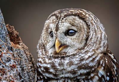 Photograph - Barred Owl by LeeAnn McLaneGoetz McLaneGoetzStudioLLCcom