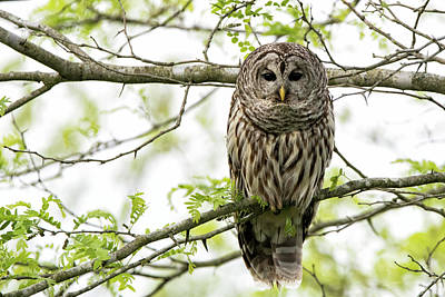 Photograph - Barred Owl by Linda Shannon Morgan