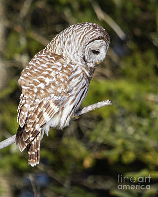 Photograph - Barred Owl Listening by Lloyd Alexander