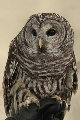 Photograph - Barred Owl by Michael Gordon