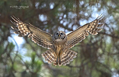 Photograph - Barred Owl by Mike Fitzgerald