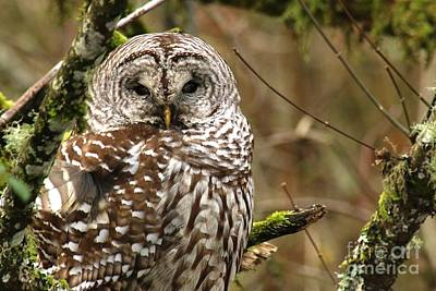 Photograph - Barred Owl by Nick Gustafson