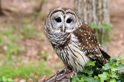 Photograph - Barred Owl On A Log by Jill Lang