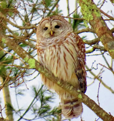 Photograph - Barred Owl On Branch - Brush Strokes by MTBobbins Photography