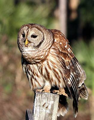 Photograph - Barred Owl On Fence Post by Ira Runyan