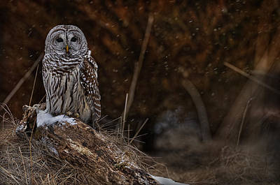 Print featuring the photograph Barred Owl On Log by Michael Cummings