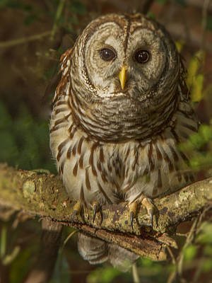 Photograph - Barred Owl On The Alert by Jean Noren