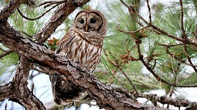 Photograph - Barred Owl On Tree Branch by Ira Runyan