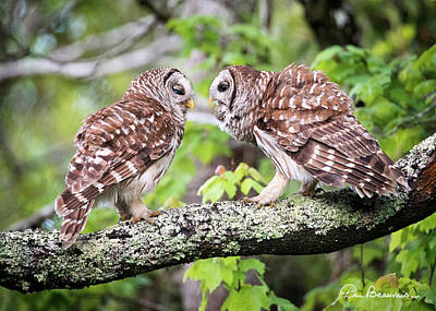 Photograph - Barred Owl Pair 0051 by Dan Beauvais