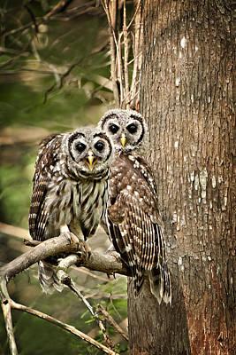 Barred Owl Pair Art Print by Bonnie Barry