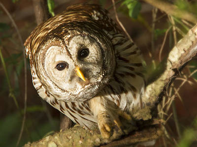 Barred Owl Peering Art Print by Jean Noren