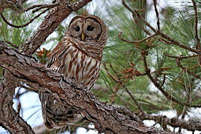 Photograph - Barred Owl Perched In Tree by Ira Runyan