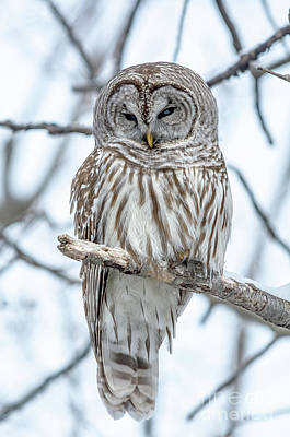 Photograph - Barred Owl Perfection by Cheryl Baxter
