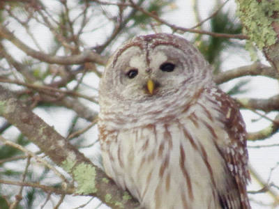 Photograph - Barred Owl Portrait - Brush Strokes by MTBobbins Photography