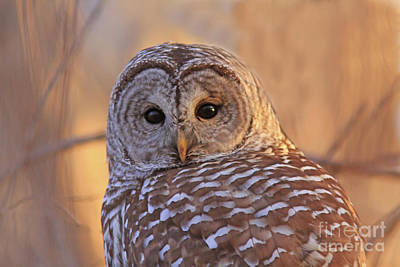 Photograph - Barred Owl Portrait  by Gary Wing
