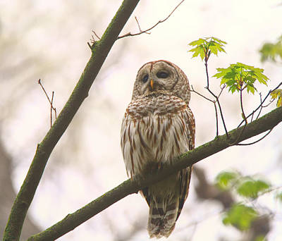 Photograph - Barred Owl Posing by Dan Sproul