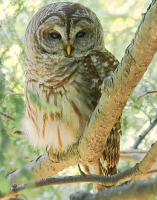 Photograph - Barred Owl  by Richard Kopchock