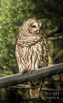Photograph - Barred Owl by Robert Frederick