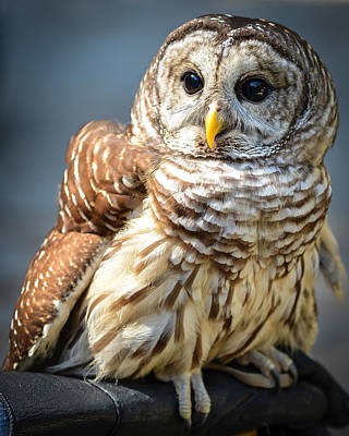 Photograph - Barred Owl by Ronda Broatch