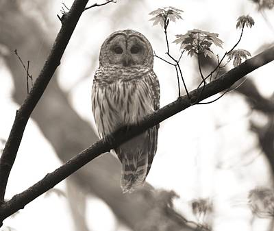 Photograph - Barred Owl Sepia by Dan Sproul