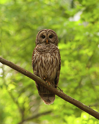 Photograph - Barred Owl Standing Out In The Green by Paul Rebmann