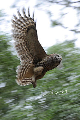 Barred Owl Taking Flight Art Print