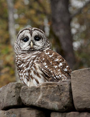 Photograph - Barred Owl by Tyson and Kathy Smith