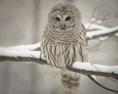 Photograph - Barred Owl  by Vance Bell