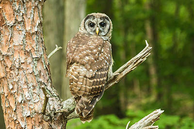 Photograph - Barred Owl by Walt Sterneman