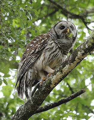 Barred Owl With A Snack Art Print by Keith Lovejoy