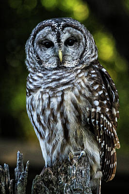 Photograph - Barred Owl_102316_0040 by Brian Snyder