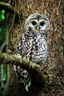 Photograph - Barred Owlet by Christina Rollo
