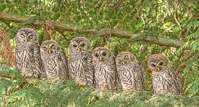 Birds Rights Managed Images - Barred Owlets Nursery Royalty-Free Image by Jennie Marie Schell